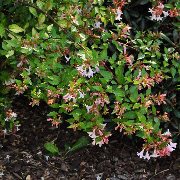 Abelia X Grandiflora Goldsport Notcutts