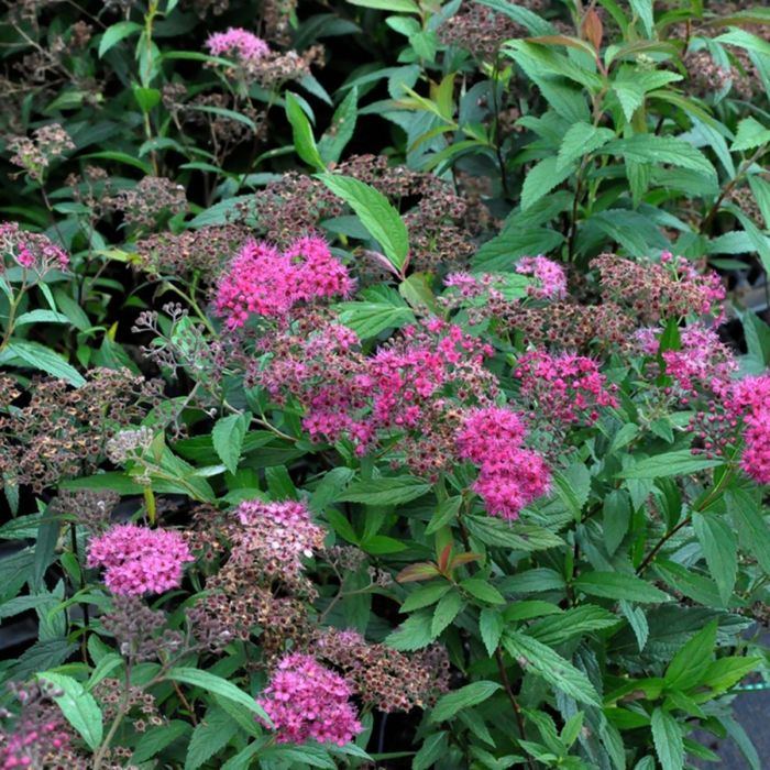Picture of Live Japanese Spirea aka Spiraea j. 'Anthony Waterer' Plant Fit 5 Gallon Pot