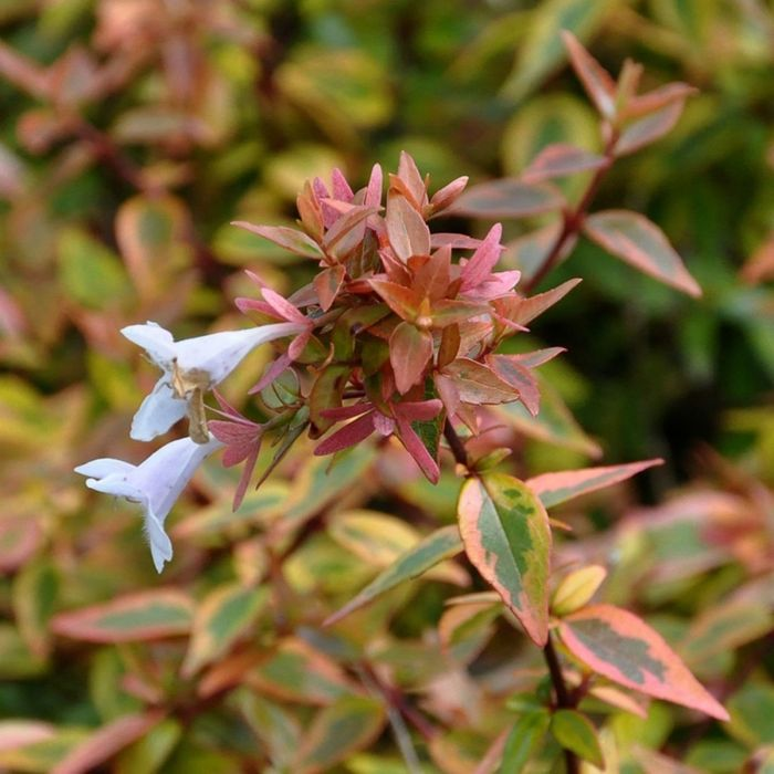 Abelia X Grandiflora Kaleidoscope Pbr Notcutts