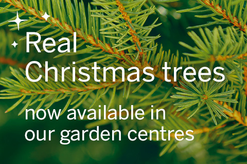 Real Christmas trees now available in our garden centres