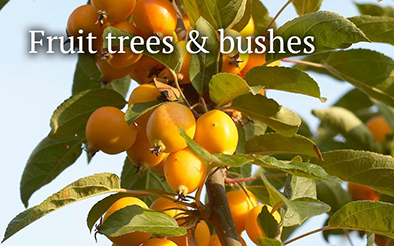 Fruit trees and bushes