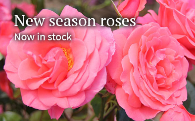 New season roses - now in