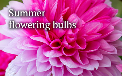 Summer flowering bulbs