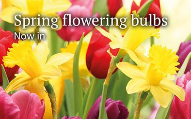 Spring flowering bulbs - Now in