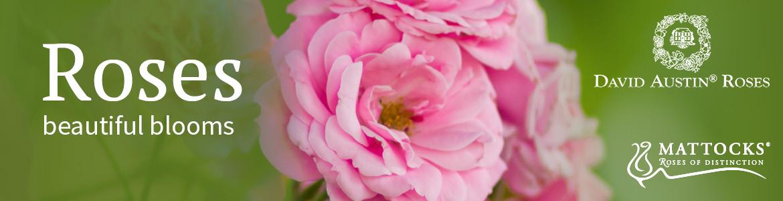 Roses beautiful blooms