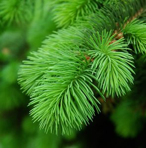 Top 10 tips for caring for real Christmas trees