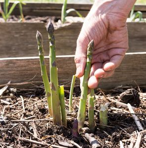 How to grow your own asparagus