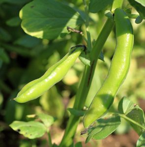 How to grow your own broad beans