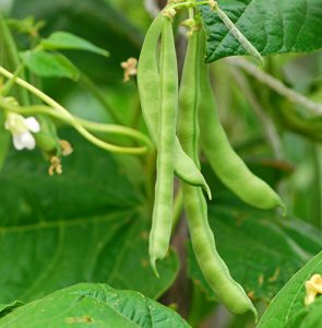 How to grow your own French beans