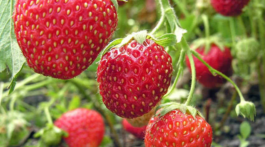 How To Grow Your Own Strawberries Notcutts