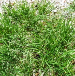 Annual meadow grass