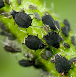 Greenfly, blackfly and aphids
