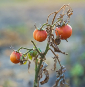 Potato blight and tomato blight