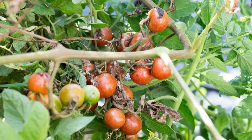 Potato blight and tomato blight | Notcutts