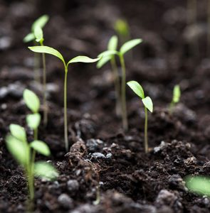Self-sown ornamental seedlings