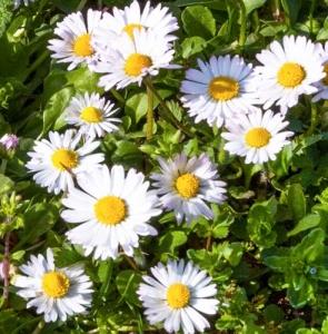 Daisy, common daisy