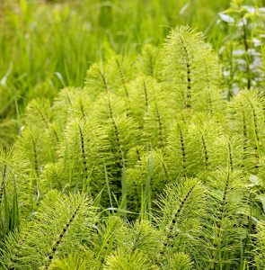 Horsetail, mare's tail