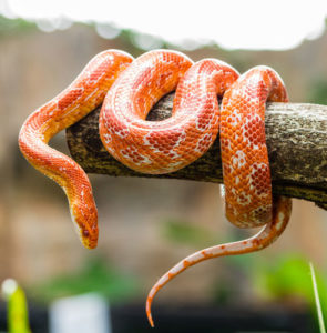 Caring for your corn snake