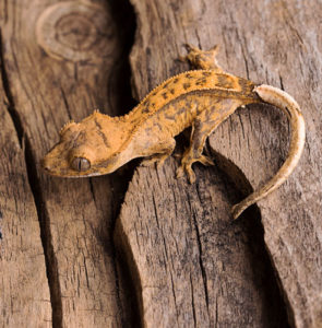 Caring for your crested gecko