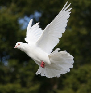 Caring for your doves