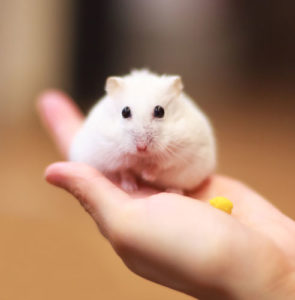 Caring for your dwarf hamster
