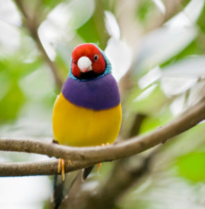 Caring for your Gouldian finch