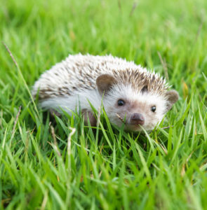 Caring for your pygmy hedgehog