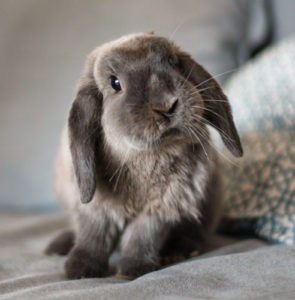 Caring for a house rabbit