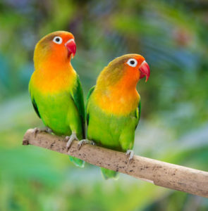 Caring for your lovebird