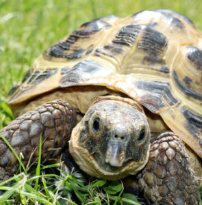Caring for your Mediterranean tortoise