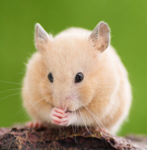 Caring for your Syrian or golden hamster