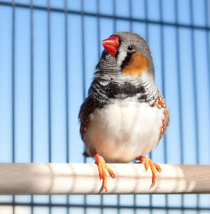 Caring for your zebra finch